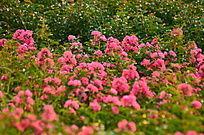美丽的粉色小花风景图片