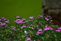 美丽的粉色小花花草风景图片