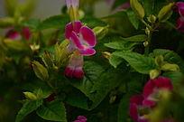 美丽的粉色小喇叭花图片