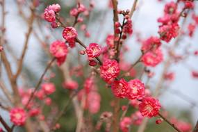 盛开的桃花风景摄影图