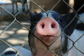 小猪的红鼻子