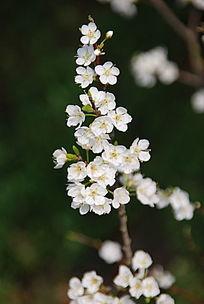 一簇白色的樱花