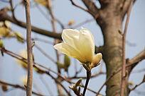 一朵盛开的黄色玉兰花