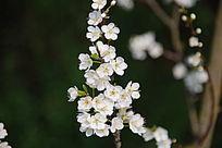 一枝盛开的白色樱花