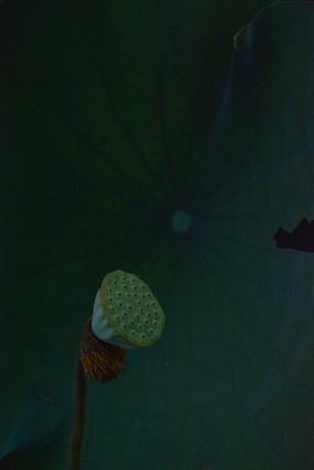 植物花卉荷花高清素材