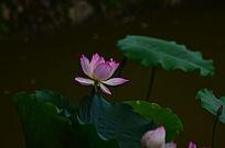 美丽的荷花莲叶
