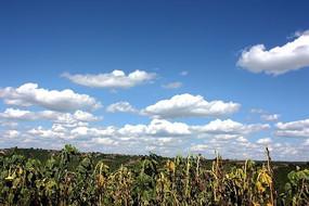 向日葵上的蓝天白云