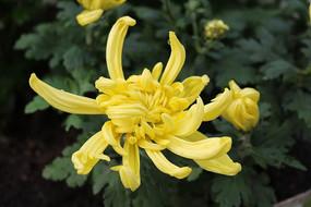 一朵黄色菊花