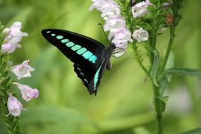 黑蓝色的蝴蝶