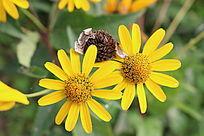 两朵盛开的黄菊花与枯萎的花朵