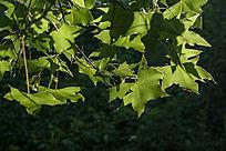 绿油油的枫叶
