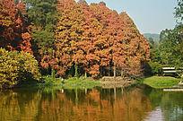 秋天红树林风景图片