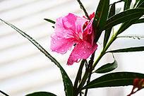 雨后小清新粉色鲜花