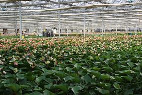 大棚培育现代花卉