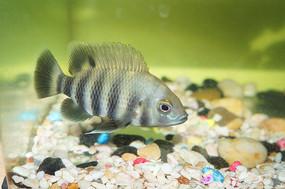 黑白条纹的鱼