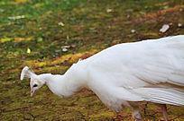 白色的孔雀
