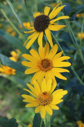 三朵黄菊花