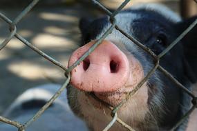 小猪的鼻子