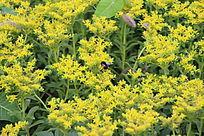 一片美丽的小黄花