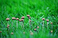草地上的蘑菇摄影图