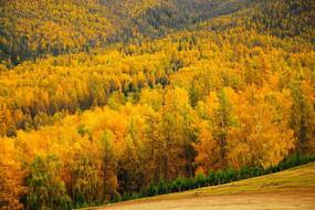 新疆白哈巴白桦林秋季风光