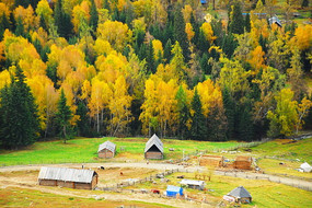 新疆白哈巴白桦林秋季景色摄影