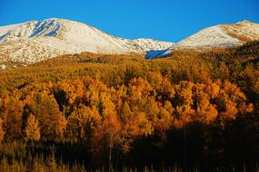 新疆白哈巴雪山白桦林秋色风景