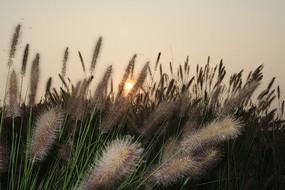 夕阳中的狼尾草