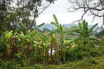 香蕉树风景图片