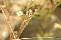 一朵白色小菊花