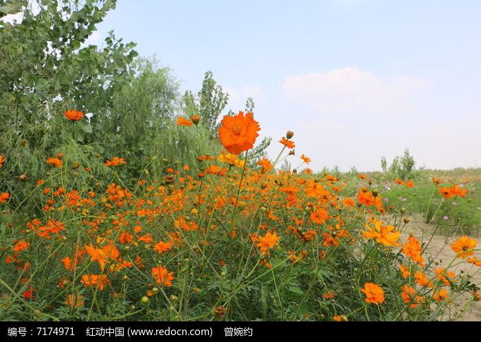 橙色花朵花丛图片