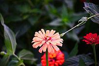 粉红色多瓣小菊花