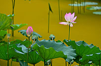 荷花莲蓬花骨朵风景图片
