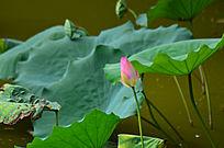 莲花莲叶花骨朵风景图片