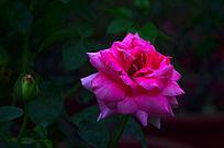 唯美的玫瑰花鲜花花卉