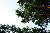 小叶榕枝叶和天空