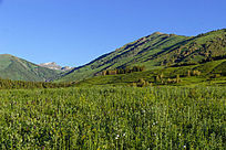 新疆喀纳斯大草原风景图