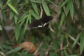 黑白蝴蝶花紋
