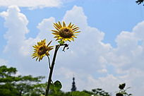 盛开向日葵