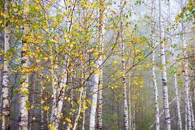 雾中白桦林秋色