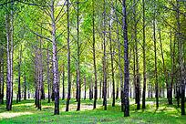 阳光树林风景