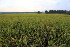 晨曦下的稻田