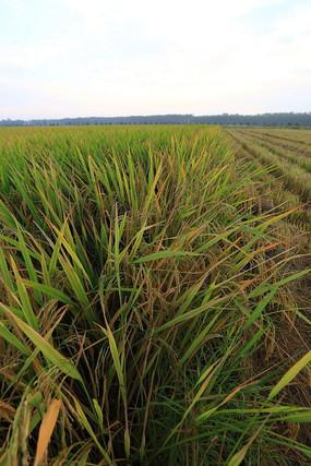 江汉平原的稻田