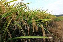 金黄的稻田