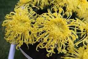 盛开的黄菊花