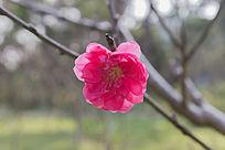 鲜艳的桃花