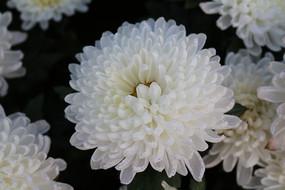 一朵白色菊花