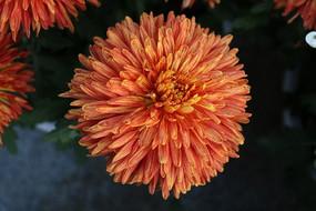 一朵橙色菊花