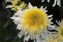 一朵盛开的白菊花