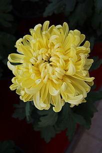 一朵盛开的黄菊花